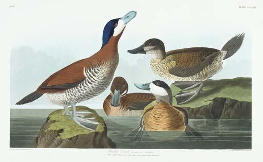 Ruddy Duck (Plate CCCXLIII) Ox