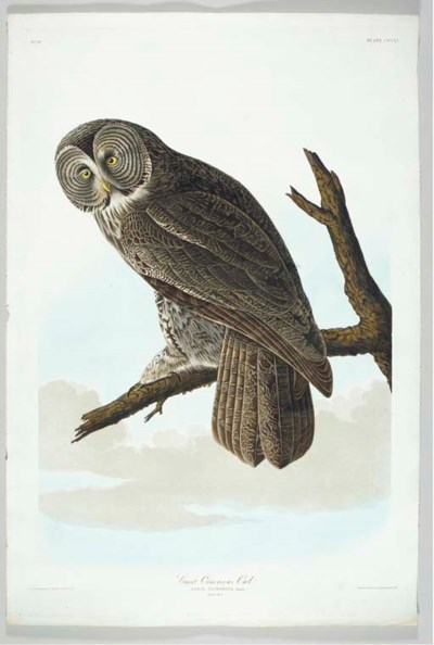 Great Cinereous Owl (Plate CCC