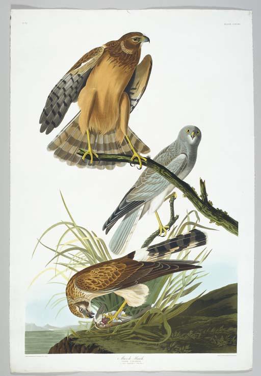 Marsh Hawk (Plate CCCLVI) Nort