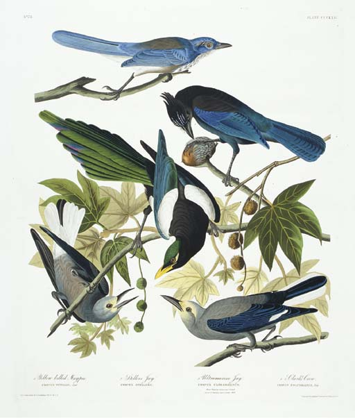 Yellow billed Magpie. Stellers