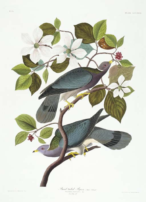 Band-tailed Pigeon (Plate CCCL