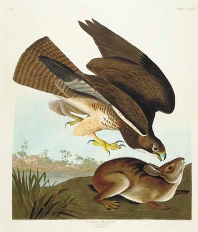 Common Buzzard (Plate CCCLXXII