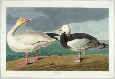Snow Goose (Plate CCCLXXXI) Ch