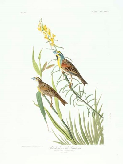 Black-throated Bunting (Plate