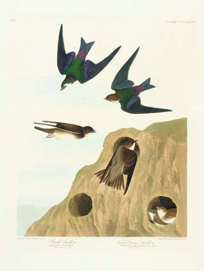 Bank Swallow. Violet-green Swa