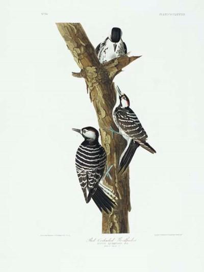 Red-Cockaded Woodpecker (Plate