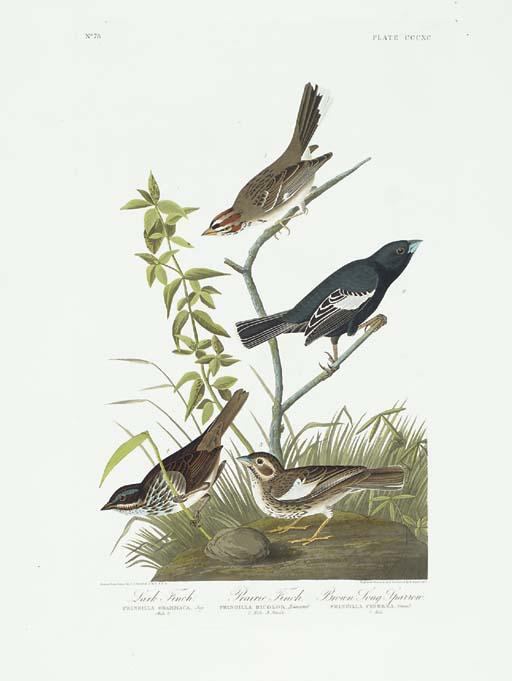 Lark Finch. Prairie Finch. Bro