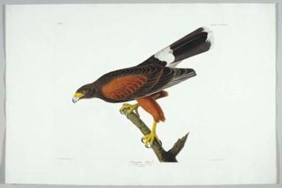 Louisiana Hawk (Plate CCCXCII)
