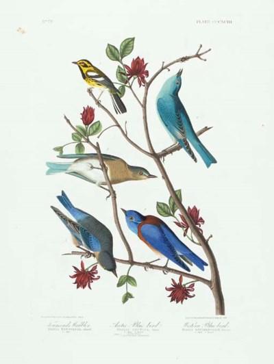 Townsend's Warbler. Arctic Blu