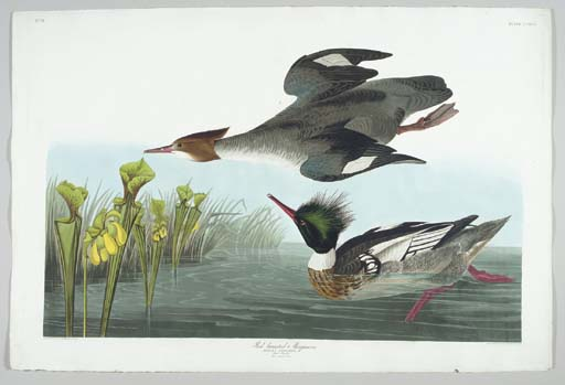 Red-breasted Merganser (Plate