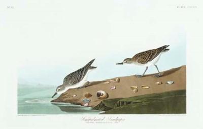 Semipalmated Sandpiper (Plate