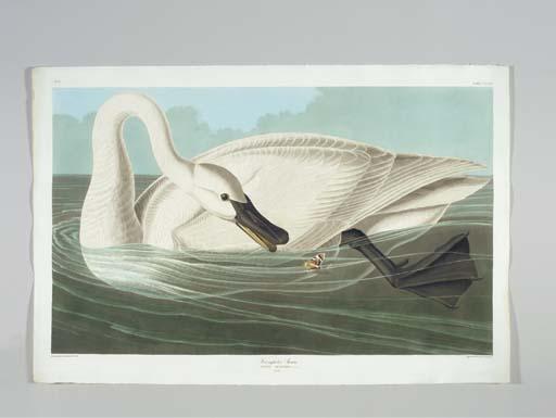 Trumpeter Swan (Plate CCCVI) T