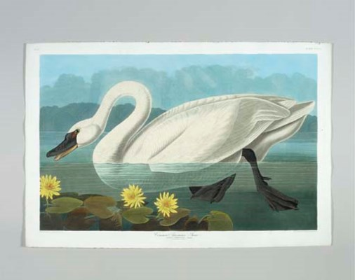 Common American Swan (Plate CC