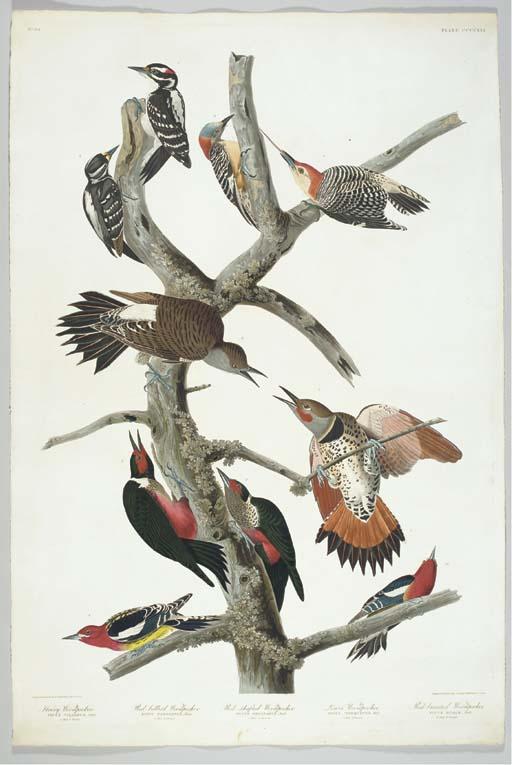 Hairy Woodpecker. Red bellied