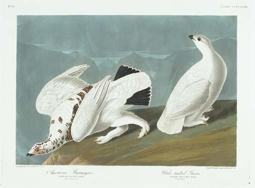American Ptarmigan. White-tail