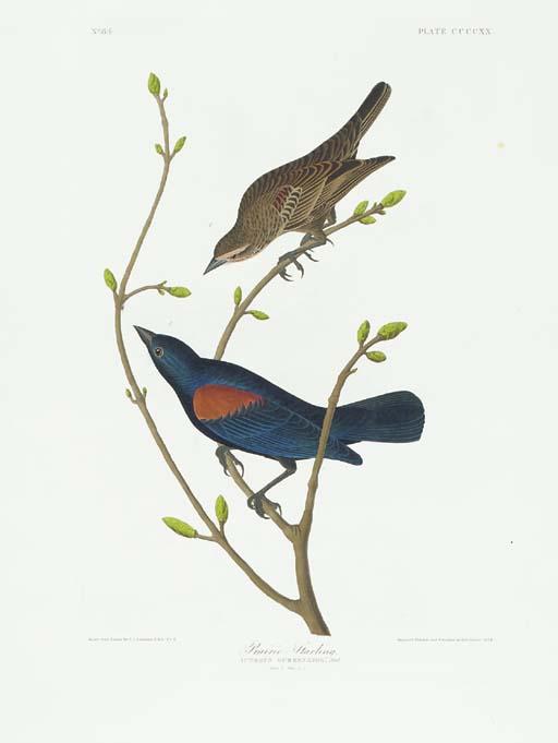 Prairie Starling (Plate CCCCXX