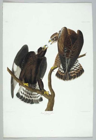Rough-legged Falcon (Plate CCC