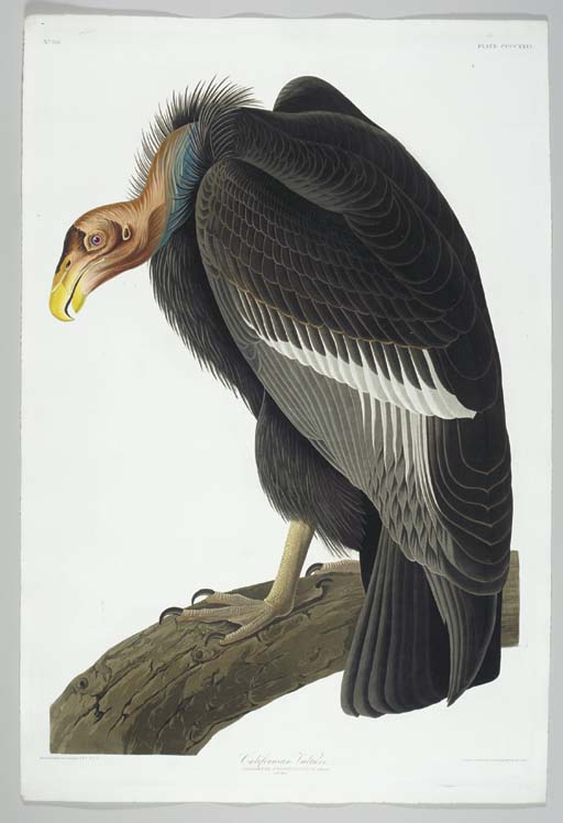 California Vulture (Plate CCCC