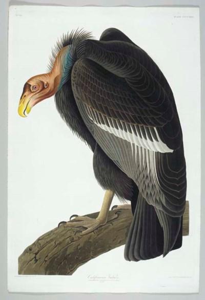 California Vulture (Plate CCCC