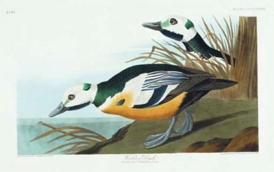 Western Duck (Plate CCCCXXIX)