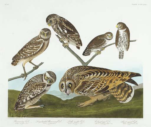 Burrowing Owl. Little Night Ow