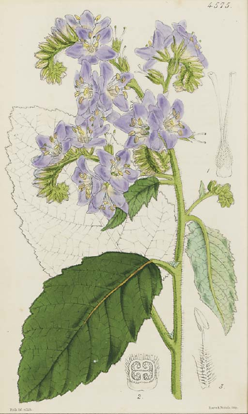 WALTER HOOD FITCH (1817-1892), JOSEPH DALTON HOOKER (1817-1911) [EDITOR]