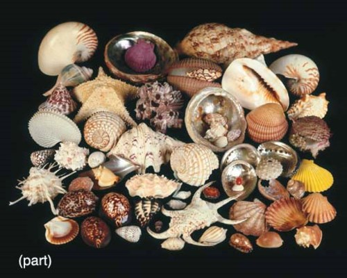 A COLLECTION OF VARIOUS SHELLS