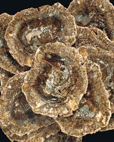 Twelve matching fossil wood pl