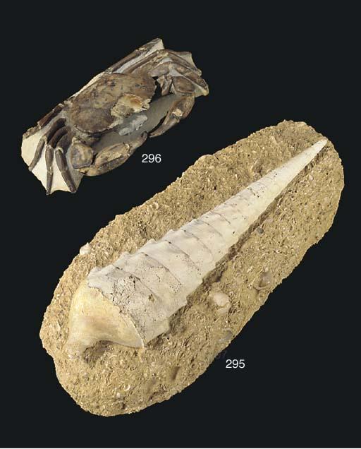 A fine archaeogeryon sp. crab