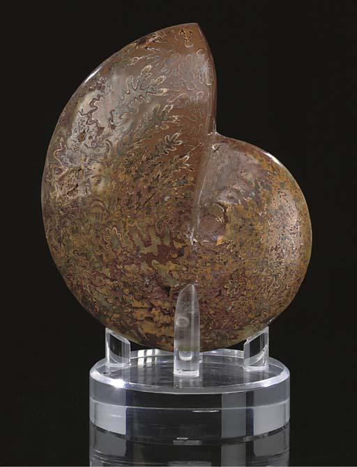 A large polished ammonite foss
