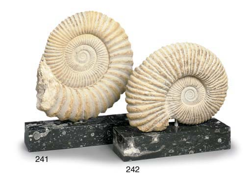 An Ammonite fossil