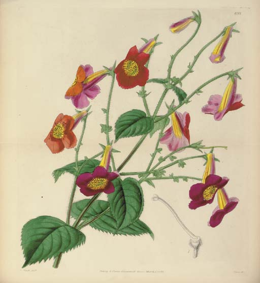 [CURTIS'S BOTANICAL MAGAZINE.]