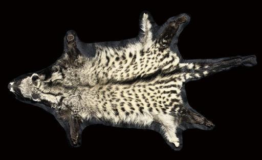 A CIVET CAT SKIN WITH FULL MOU