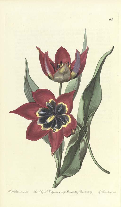 EDWARDS, Sydenham Teast (c.1768-1819). The Botanical Register. London: James Ridgeway, 1815-1844.