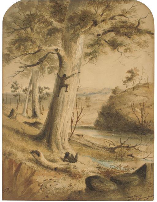 Gum Trees, Natives Opposum hunting, South Australia