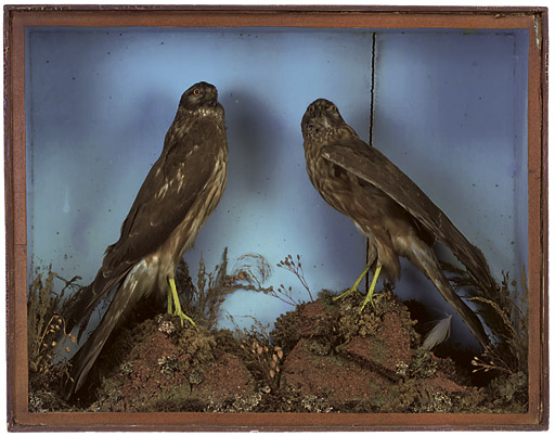 A VICTORIAN TAXIDERMY DISPLAY MODEL OF TWO SPARROWHAWK