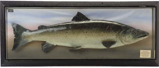 A MODEL FISH TROPHY