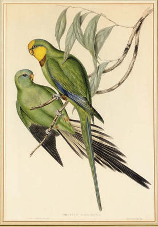 JOHN GOULD (1804-1881) AND HENRY CONSTANTINE RICHTER (ACTIVE 19TH CENTURY)