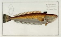 [NATURAL HISTORY PRINTS]. BLOCH, Marcus Elieser (1723-1799). A fine collection of approximately 79 hand-colored engraved plates from Bloch's Ichthyologie (Berlin, ca 1790), by Schmidt, Krüger, Hennig, and Bedenehr after Bloch, each approximately 285 x 468 mm. A very fine series from one of the finest works on fish.