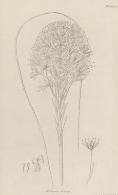 PURSH, Frederick Traugott (177