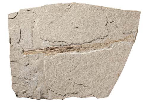 FISTULARIA LONGIROSTRIS