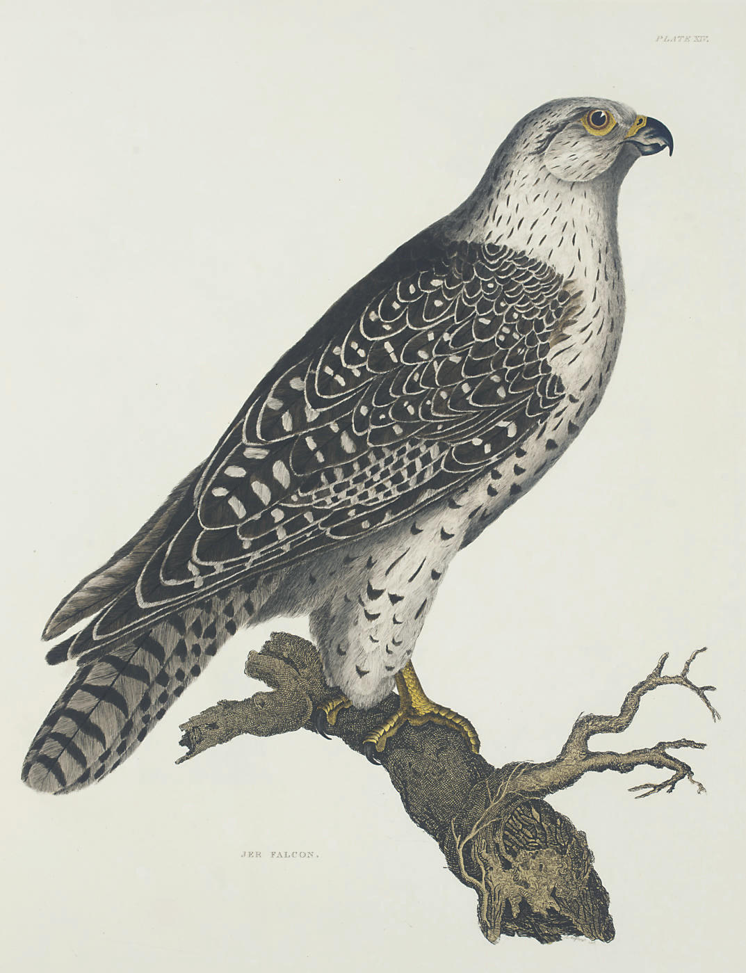 SELBY, Prideaux John (1788-1867). Plates to Selby's Illustrations of British Ornithology. Edinburgh: Archibald Constable & Co. and Hurst, Robinson & Co., [1821-]1834.