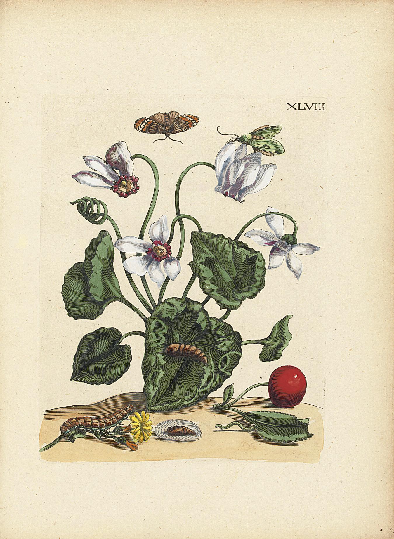 MERIAN, Maria Sibylla (1647-1717). Erucarum ortus, alimentum et paradoxa metamorphosis. Amsterdam: Johannes Oosterwijk, [1718].