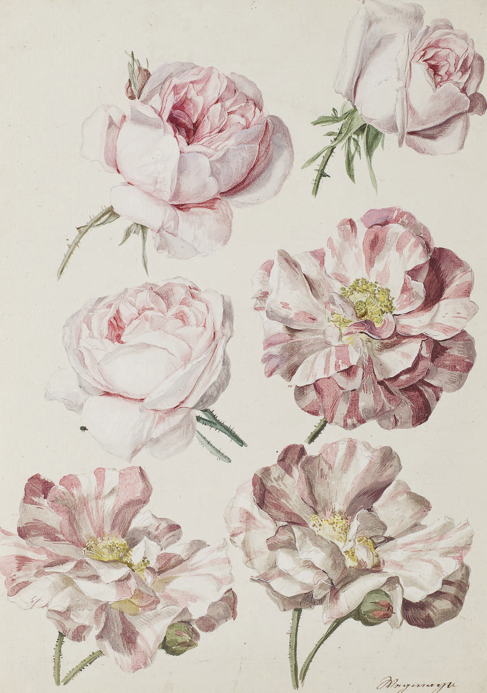 Studies of six roses