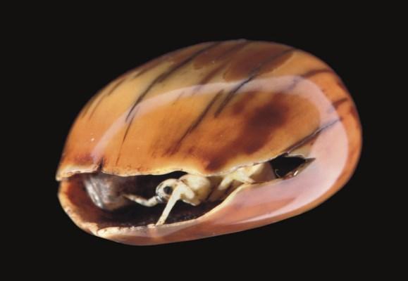 A Fossil Walrus Tusk Netsuke,