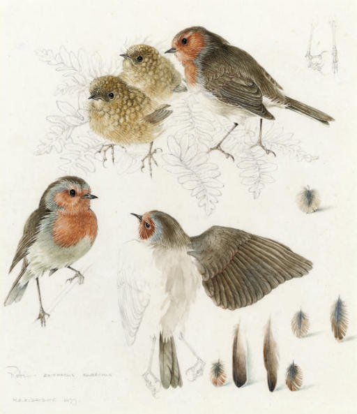 Studies of robins (one illustrated)
