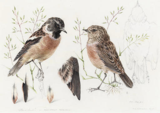Study of a Redpoll; and Study of a Stonechat (illustrated)