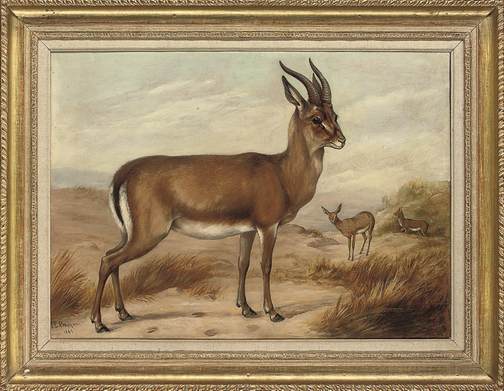 Persian gazelle