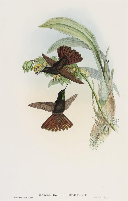 John Gould, F.R.S. (1804-1881)