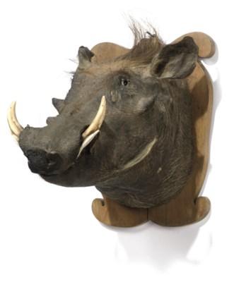 A taxidermy mounted warthog he